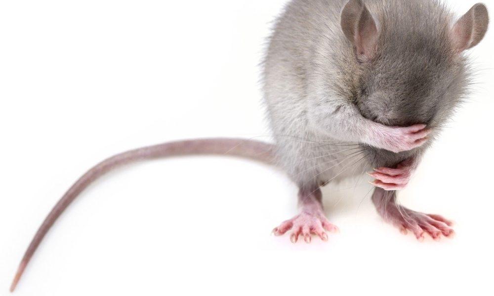 Szczur w domu, gdzie należy szukać pomocy?